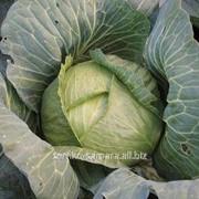 Семена капусты белокачанной Мегатон F1 фото
