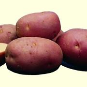 Картофель среднеспелый фото
