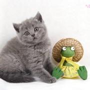 Кошка - британка голубая фото