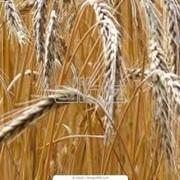 4-й класс пшеница фото