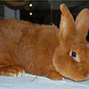 Продаем кроликов породы Новозеландская красная фото