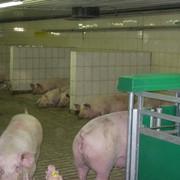 Проект свинокомплекса на 4000 свиноматок с кормовой базой и цехом убоя фото