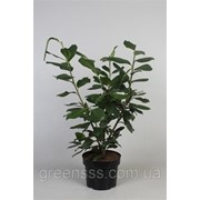 Лавровишня лекарственная Новита -- Prunus laurocerasus Novita фото