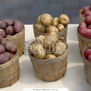 Картофель сортовой фото