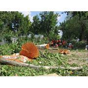 Сруб деревьев фото