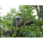 Спил деревьев по целиком и по частям.Спиливание с завешиванием частей. фото