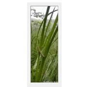 Травы лекарственные Аир болотный, Сумы фото