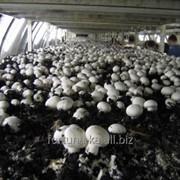 Трудоустройство в Ирландии Сбор грибов фото