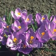 Луковица цветочных культур Рембранс фото