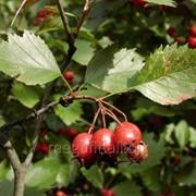 Боярышник кроваво-красный (плоды) 50г фото