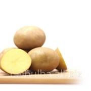 Ранний картофель сорт Винета 2 репродукция фото