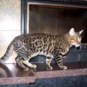 Бенгальский котенок питомника Nikalina's окраса розетка на золоте фото