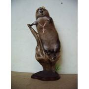 Чучело ондатры (шуточное). фото