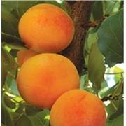 Puieti de pomi fructiferi caise фото