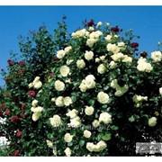 Роза Scheewalzer фото