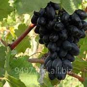 Компания ГЦ ТЕРПАН ИВАН занимается продажей винограда столовых сортов: Кодрянка(черный) , Презетабль (белый), Мечта(киш-миш) . Подробнее: http://9497.md.all.biz/vinograd-vinograd-v-moldove-i-na-eksport-g96061 фото