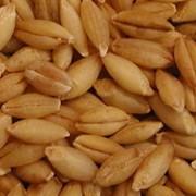 Ячмень зерно, Ячмень зерно купить оптом фото