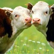 Коровы.Казахстан. фото