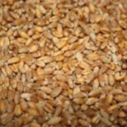 Пшеница, пщеница 3 класса, пшеница 4 класса, пшеница твёрдых сортов фото