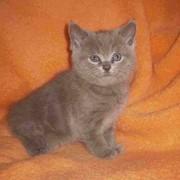 Продажа котят Scottihs-fold фото