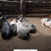 Разработка технологии производства свинины, разработка бизнес-проектов и бизнес-планов, проэктирование и реконструирование свонокомплексов фото
