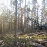 Хлыстовая лесозаготовка фото