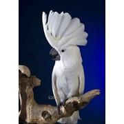 Белохохлый какаду (Cacatua alba) - ручные птенцы из питомников Европы фото