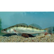 Материал рыбопосадочный - судак Stizostedion lucioperca фото
