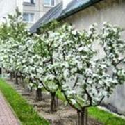 Обрезка деревьев. Услуги садовника. Комплексное обслуживание сада. фото