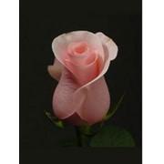 Живые розы фото