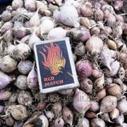 Однозубка (однодоля, однозубок) елітне насіння часнику «Софіївський» сорт. фото