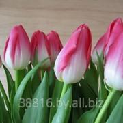 Тюльпаны Dynasty фото