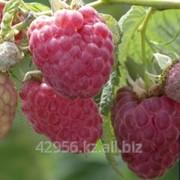 Саженцы малины Барнаульская (бирка №5) фото
