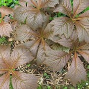 Роджерсия подофилловая (Rodgersia podophylla) фото