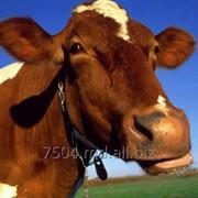 Мясо КРС (крупного рогатого скота). Говяжье мясо фото