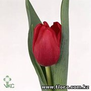 Тюльпан Red Pover фото