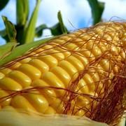 Кукуруза продовольственная фото