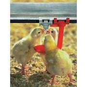 Выращивание цыплят суточных фото
