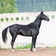 Продаётся ахалтекинский жеребец по кличке Таймыр/Akhal-Teke stallion sale named Taimyr фото
