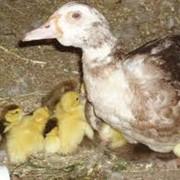 Инкубационное яйцо мясной утки фото