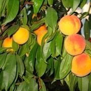 Саженцы персика Донецкий желтый фото