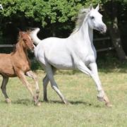 Арабские чистокровные лошади фото