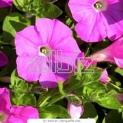 Петуния садовая фото