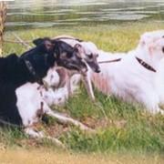 Собаки длинношёрстные борзые фото