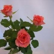 Розы Свинг фото