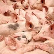 Свиньи, купить свиней оптом, продам свиней фото