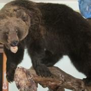 Чучело медведя настенное фото