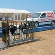 Монтаж животноводческих весов фото