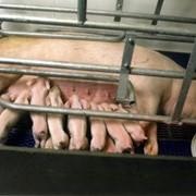 Производство свинокомплексов, Свинокомплексы, свиньи элитных пород для разведения и на откорм, мясо в вакуумной упаковке, полутуши. Комбикормовые заводы в кредит на 5 лет под 7%. фото
