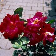 Роза флорибунда, Роза Лавли Рафлес, Роза Лавли Раффлс фото